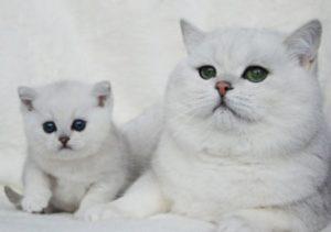 Описание и характер шиншилловой кошки