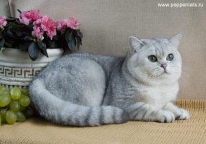 характер шиншилловой кошки