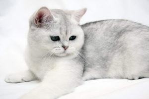 шиншилловая кошка