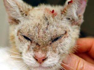 Симптомы и лечение чесотки у кошек