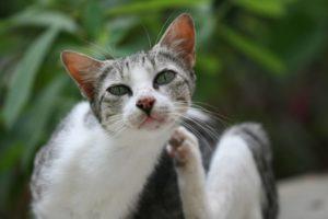 Симптомы и лечение чесоточного клеща у кошек