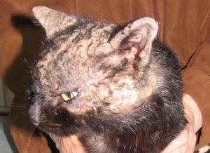 чесоточного клеща у кошек