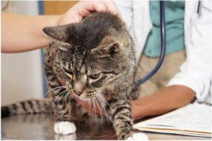 Симптомы и лечение энтерита у кошек