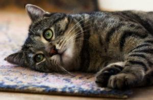 Как лечить энтерит у кошек