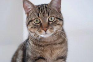 Описание и характер европейской короткошерстной кошки
