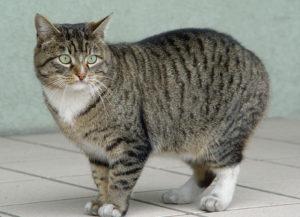 характер европейской короткошерстной кошки
