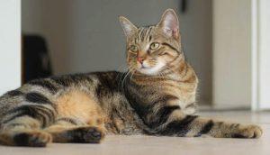 Описание европейской короткошерстной кошки