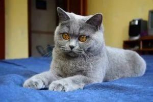 Британец кот
