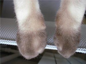 вывих лапы у кошек