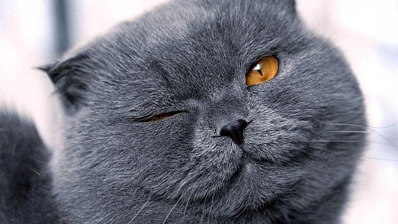 Британская кошка подмигивает