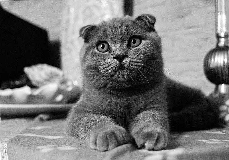 Британские кошки очень красивы